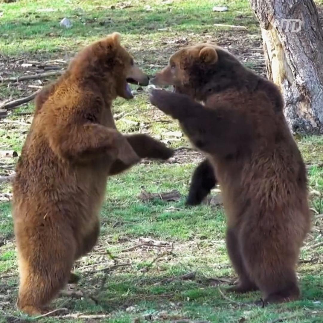 Медведи вышли из спячки и разминают лапы в бельгийском зоопарке