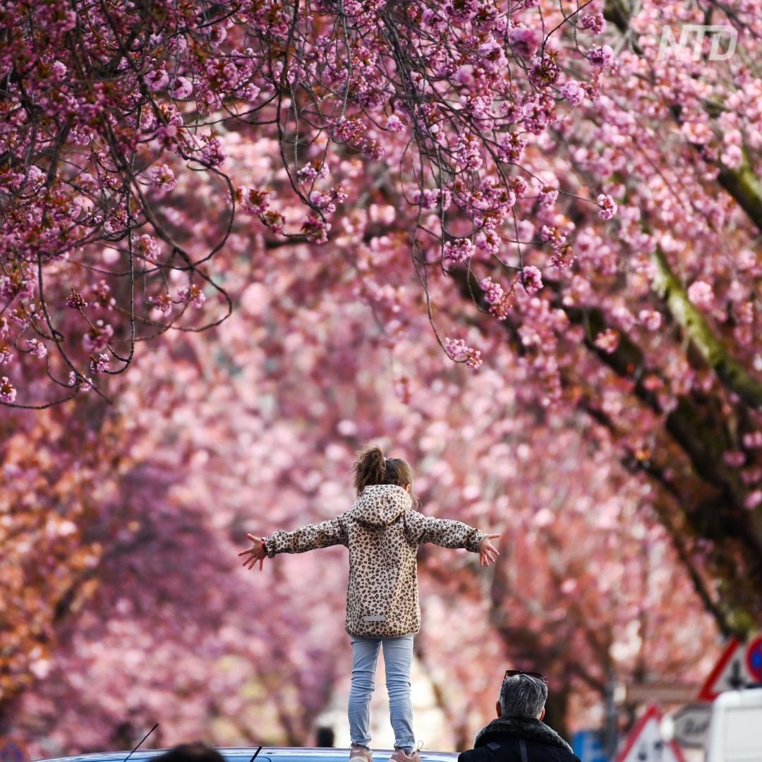 Улицы Бонна украсила цветущая вишня