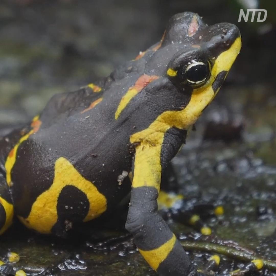Редких пятнистых жаб из Панамы впервые вывели в неволе
