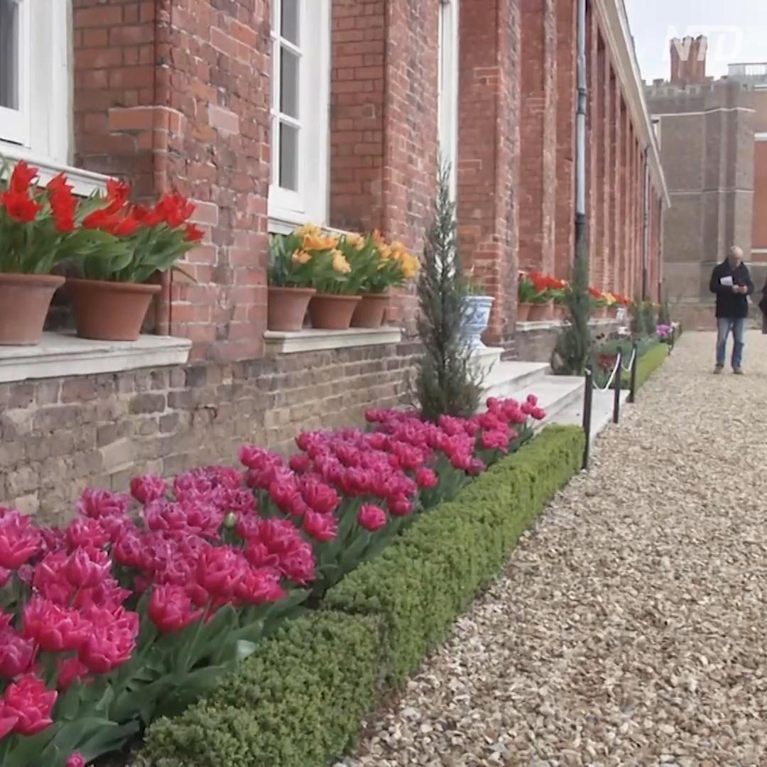100 тысяч тюльпанов зацвели в лондонском дворце