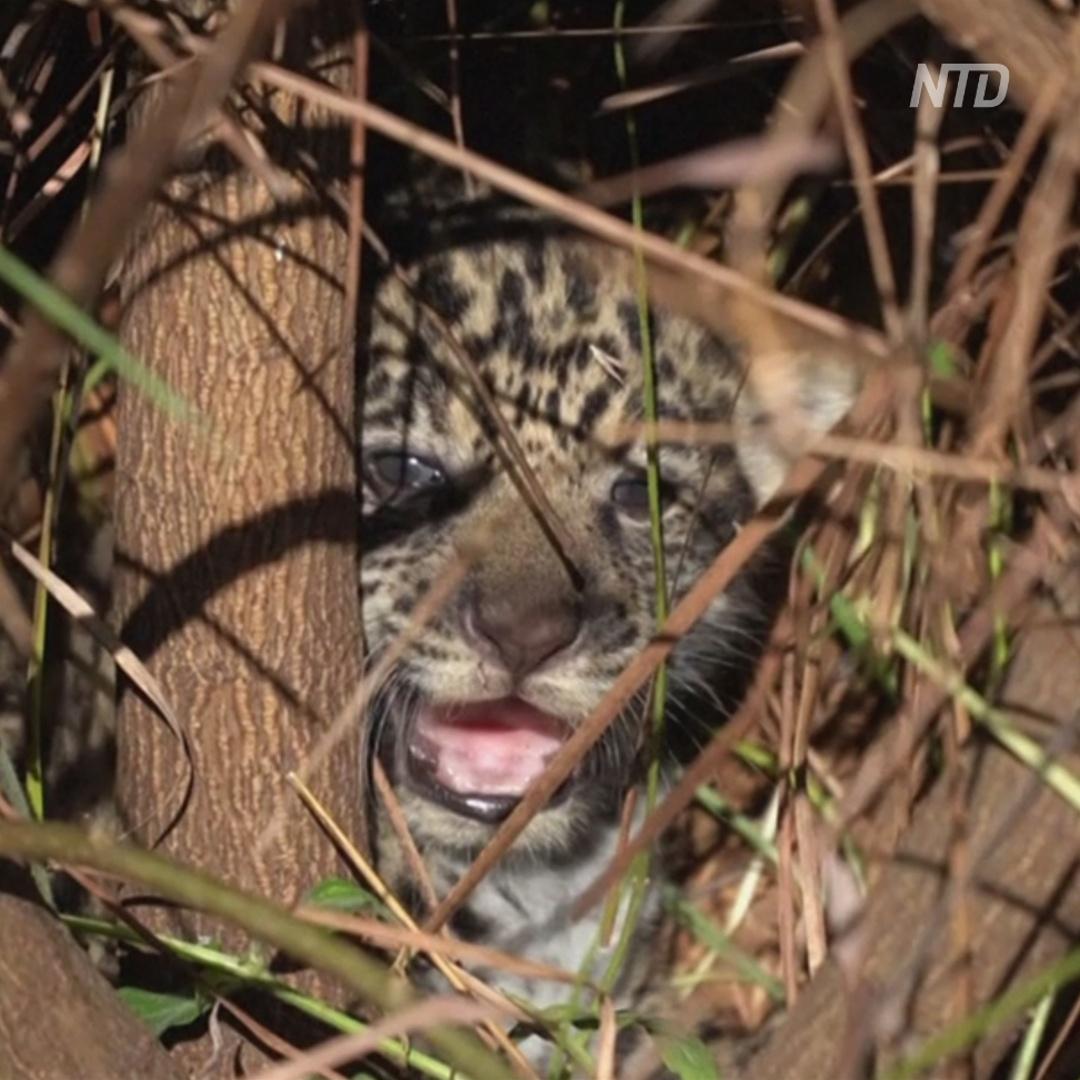 Семейство ягуаров выпустили в дикую природу Аргентины