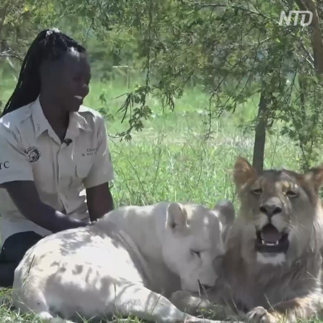 Угандийка играет с хищниками, как с котятами