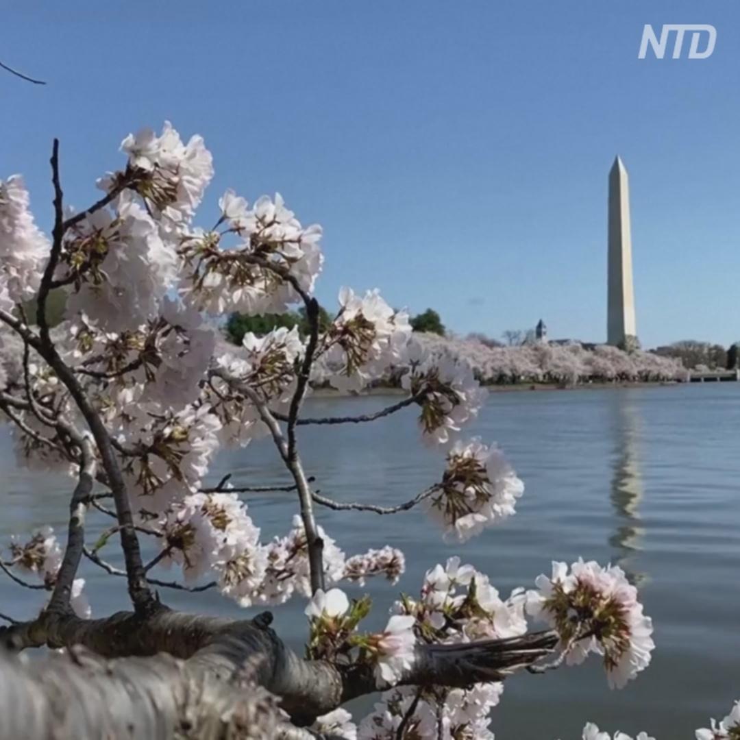 Сакура окутала цветом аллею в Вашингтоне