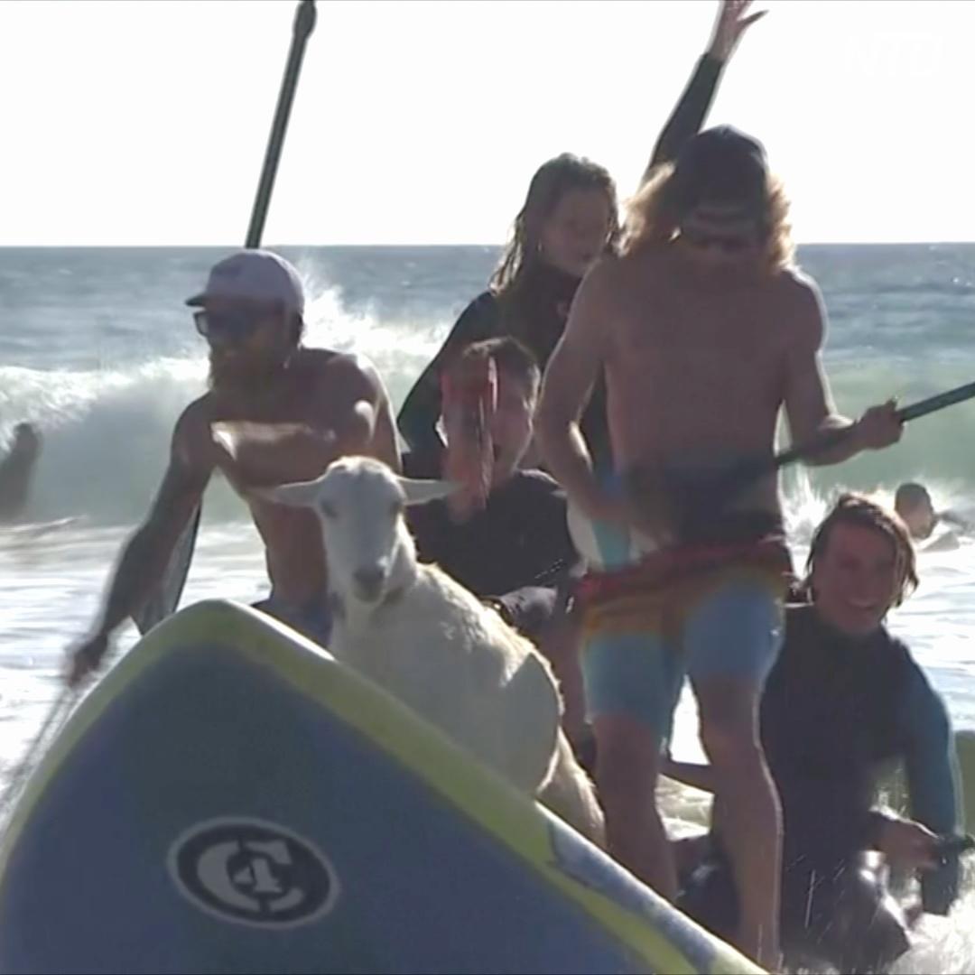 Козлы-сёрферы катаются по волнам на пляже Калифорнии