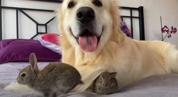 Как ретривер дружит с крольчатами: более 9 млн просмотров