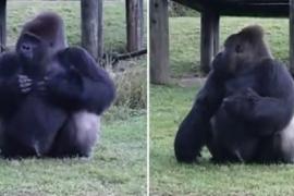 Как горилла объясняла людям, что её нельзя кормить. Весёлое видео