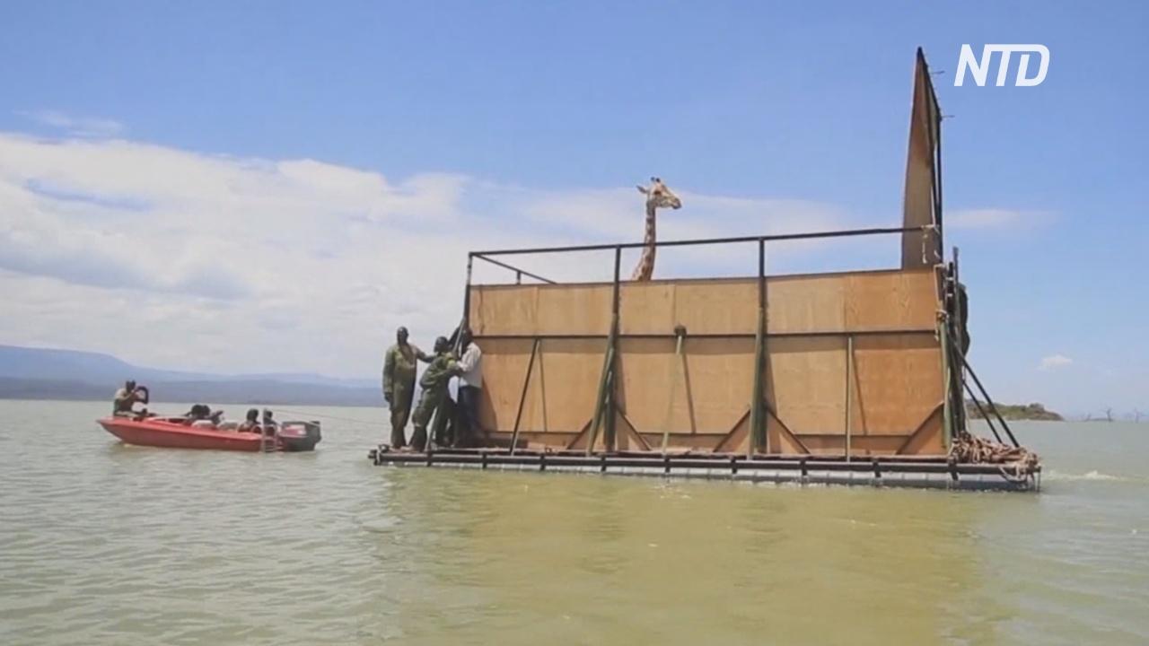 Как с тонущего острова в Кении эвакуировали жирафов