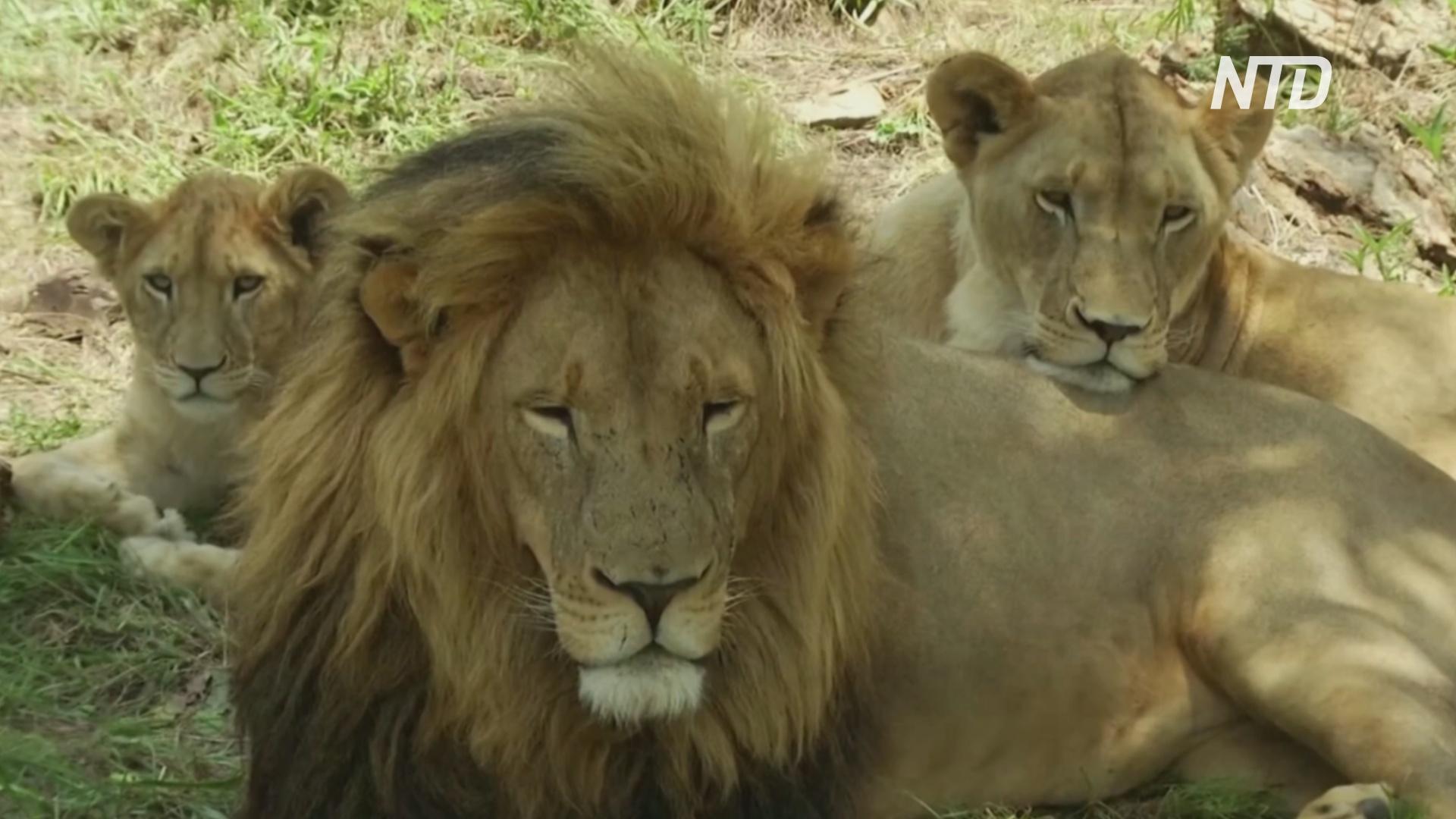 В ЮАР запретят разведение львов в неволе в коммерческих целях
