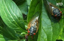 В США ожидают «нашествия» триллионов цикад
