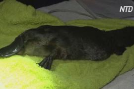 В Австралии изучают неуловимых утконосов, чтобы защитить их от вымирания