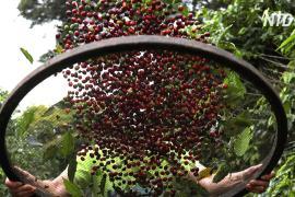 Сбор урожая кофе в Бразилии начался с городской плантации в Сан-Паулу
