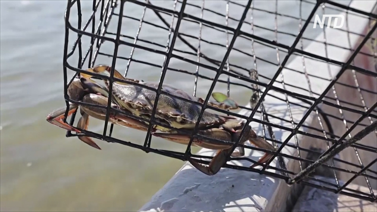 Угри в Хорватии вымирают из-за атлантических голубых крабов