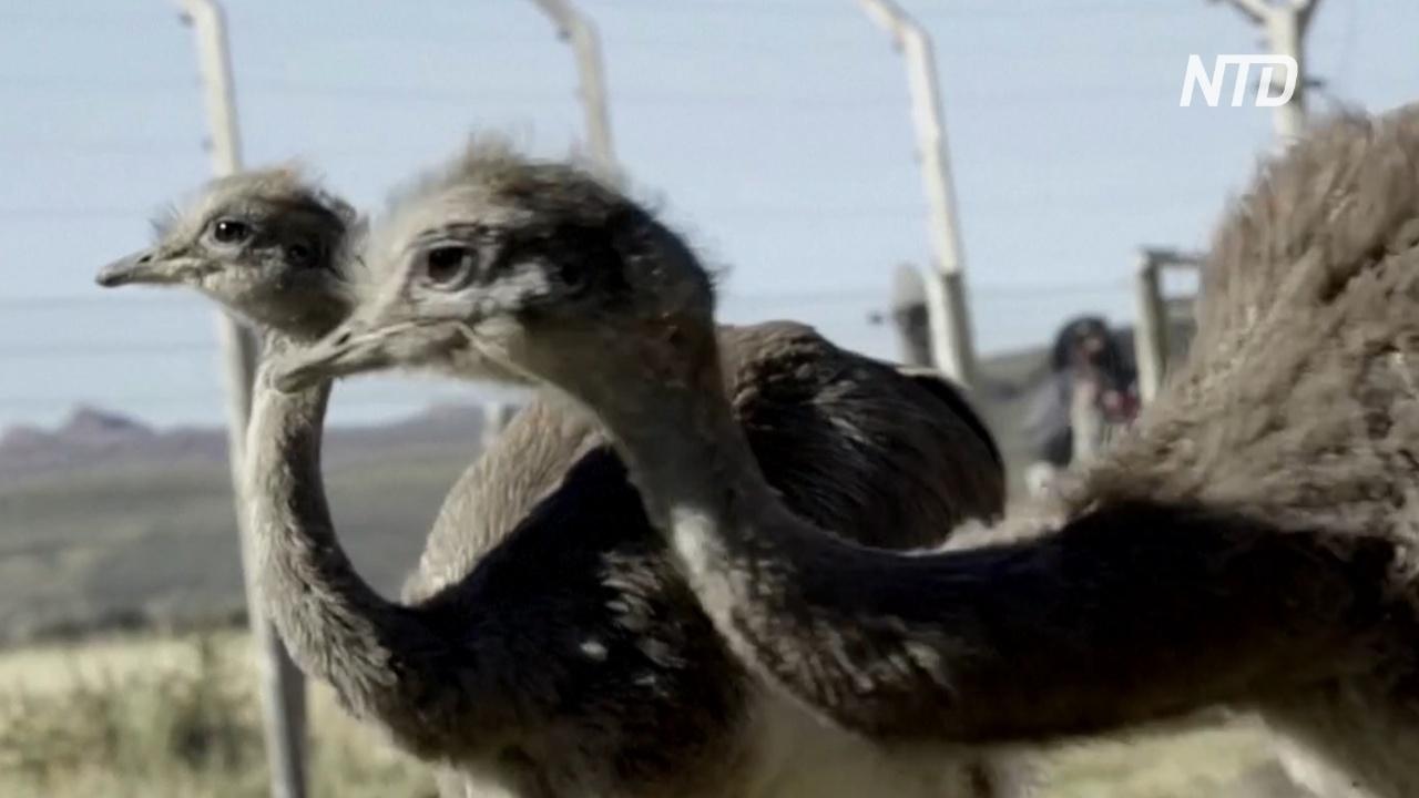 В чилийской Патагонии выпустили 14 птиц нанду, которым угрожает исчезновение