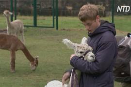 Козы и альпака помогают британским школьникам восстанавливать психическое здоровье
