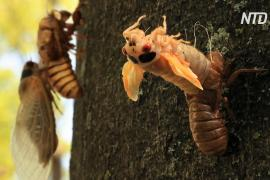 Триллионы периодических цикад вылазят на поверхность земли в США