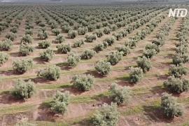Древние оливковые рощи Андалусии надеются включить в список ЮНЕСКО