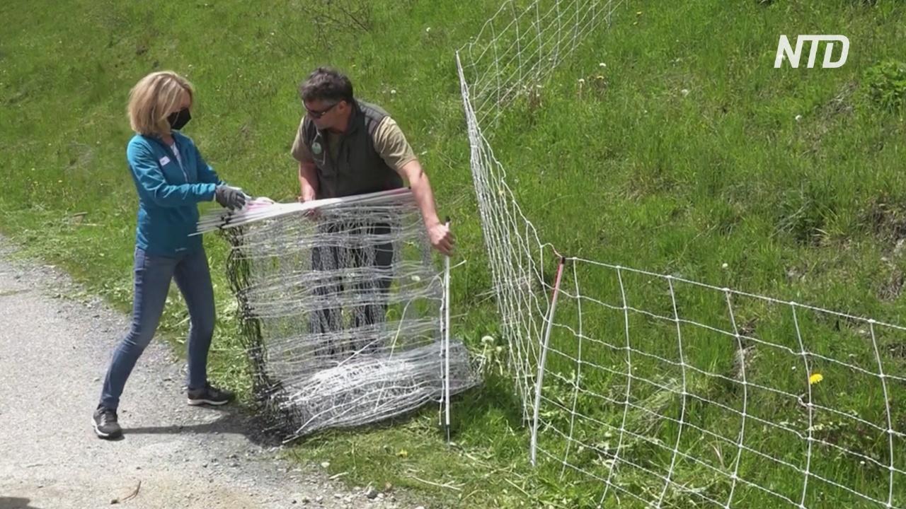 В Швейцарии волонтёры помогают фермерам защитить скот от волков