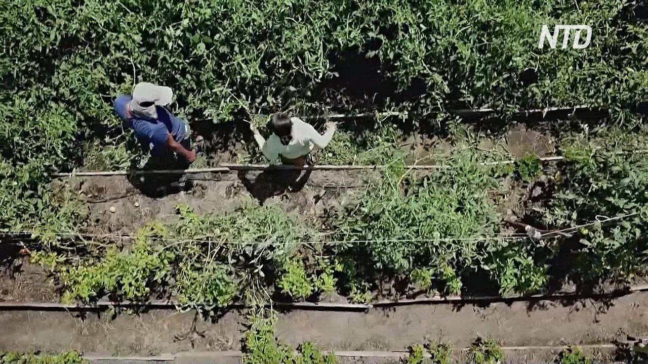 «Общественный огород» в Коста-Рике помогает жителям справиться с пандемией