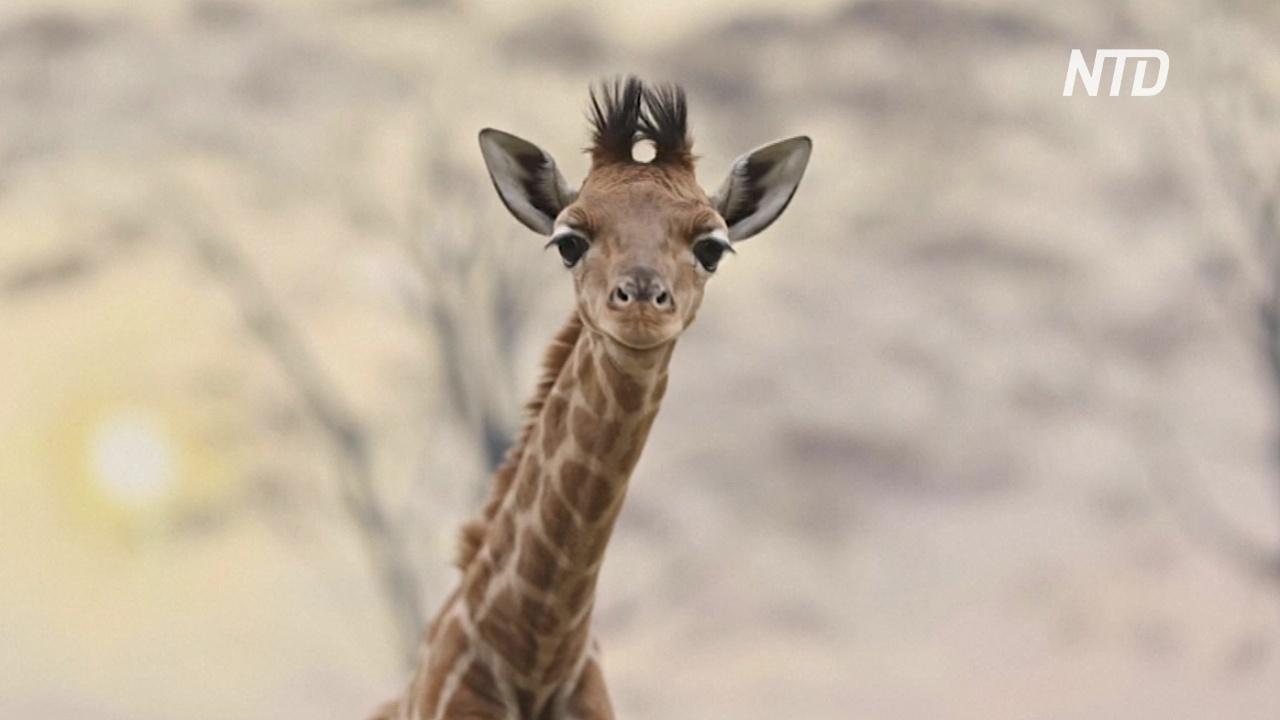 Французский зоопарк приветствует второго детёныша жирафа за год