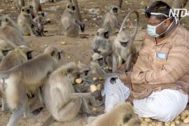 Индийцы подкармливают оголодавших во время локдауна обезьян