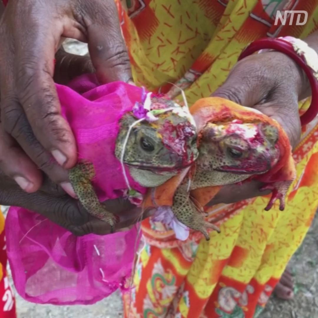 Зачем индийские фермеры женят лягушек