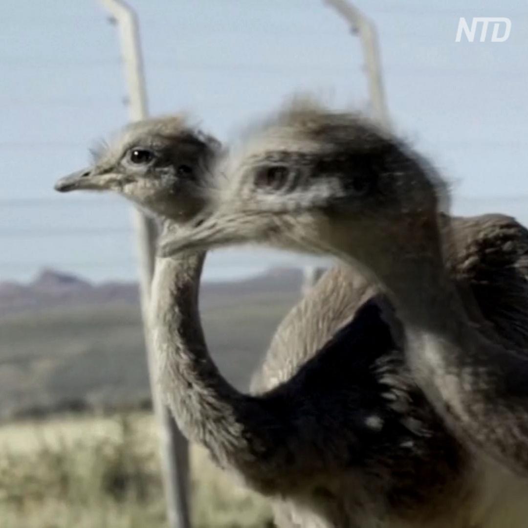 Как нелетающих птиц нанду снова возвращают в чилийскую Патагонию