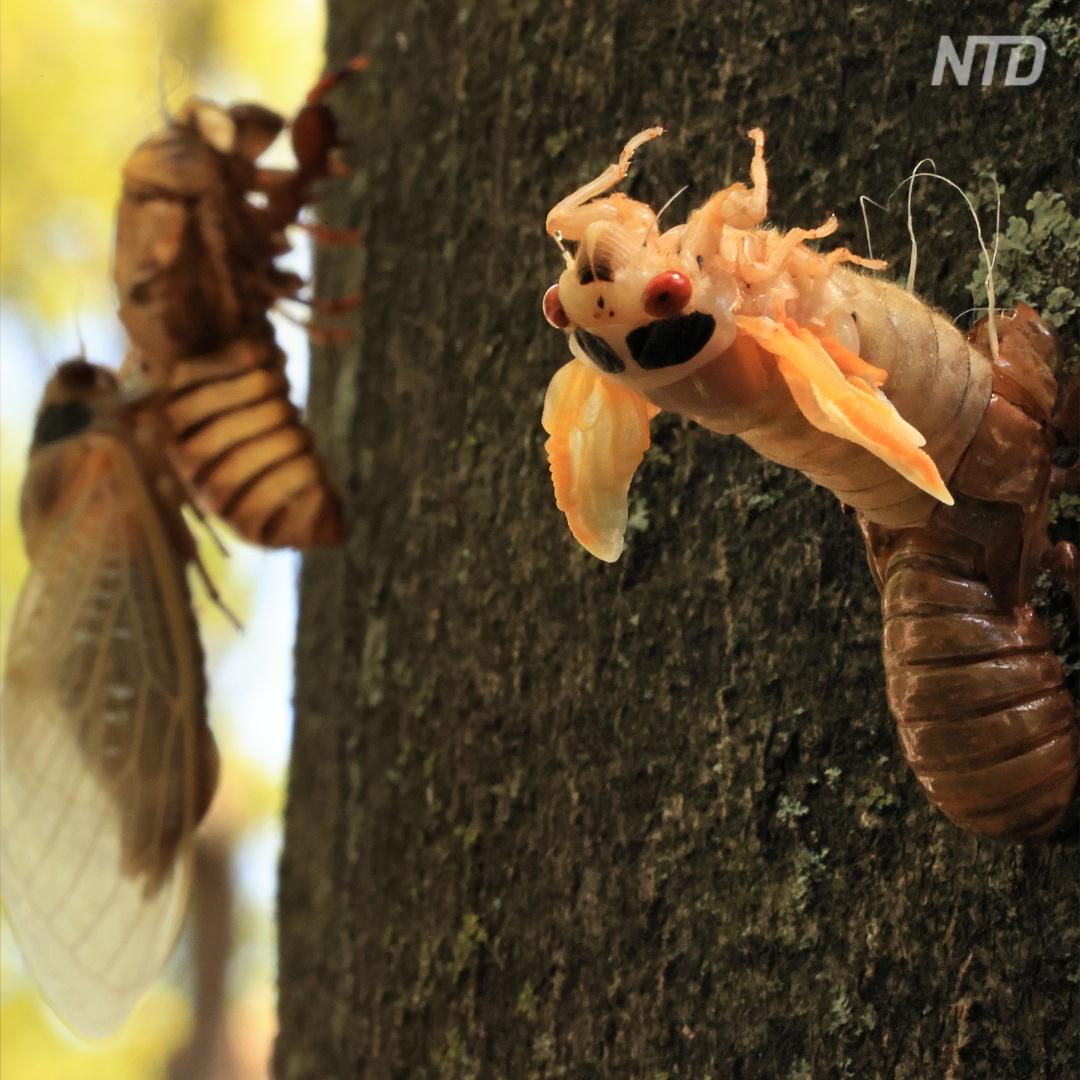 Триллионы цикад лезут из земли в 15 штатах США