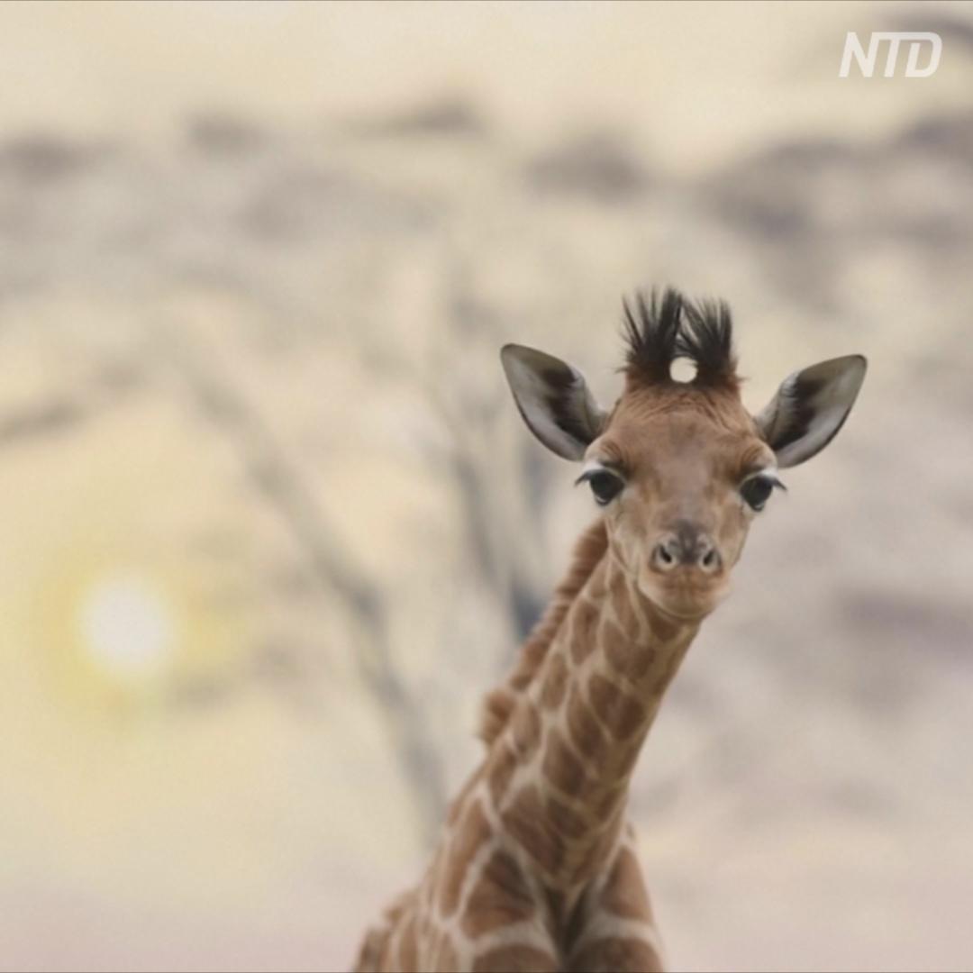 Второй жирафёнок за год: радостное пополнение в зоопарке Франции