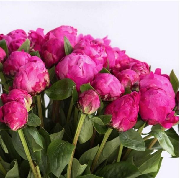 Пионы розовые поштучно