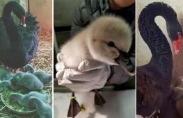 Отверженный лебедь удивил рождением птенцов