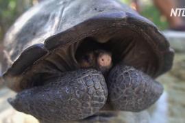 Учёные подтвердили, что вымерший вид черепах на Галапагосах не исчез