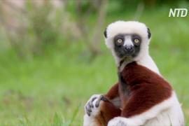 Редкие «танцующие лемуры» поселились в Честерском зоопарке в Англии