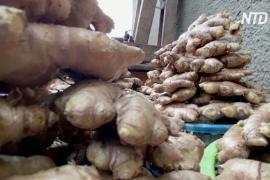 Суперпродукт в период пандемии: нигерийка процветает, выращивая имбирь