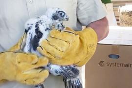 Российский питомник подсаживает соколят в дикие гнёзда