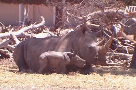 Детёныш южного белого носорога родился в израильском зоопарке