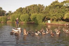 Кубинец 20 лет дружит с пеликанами