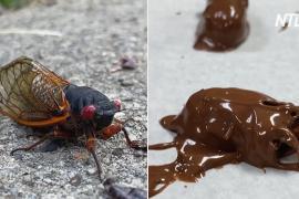 Цикады в шоколаде: кондитерская в США воспользовалась появлением миллиардов насекомых
