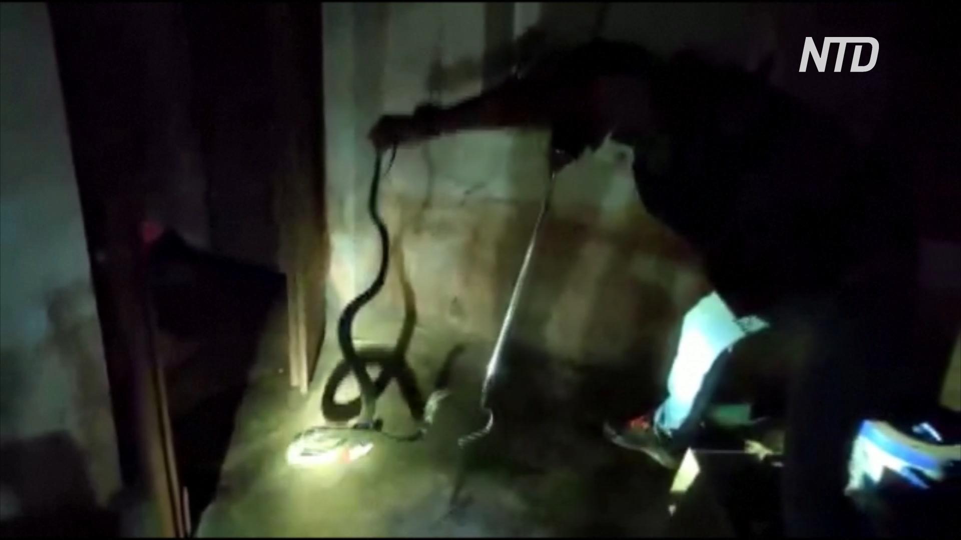 В Индии в жилой дом заползла королевская кобра длиной 2,5 метра