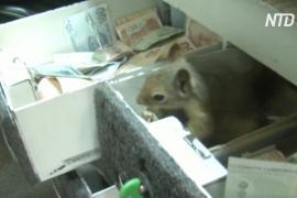 Бесстрашный бельчонок охраняет деньги в магазине своего спасителя