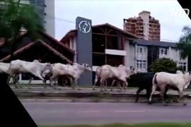 «Опасно для жизни»: сбежавшие коровы посеяли хаос в боливийском мегаполисе