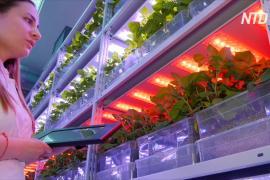 Российские учёные выращивают высокоурожайный картофель, чтобы заместить импортный