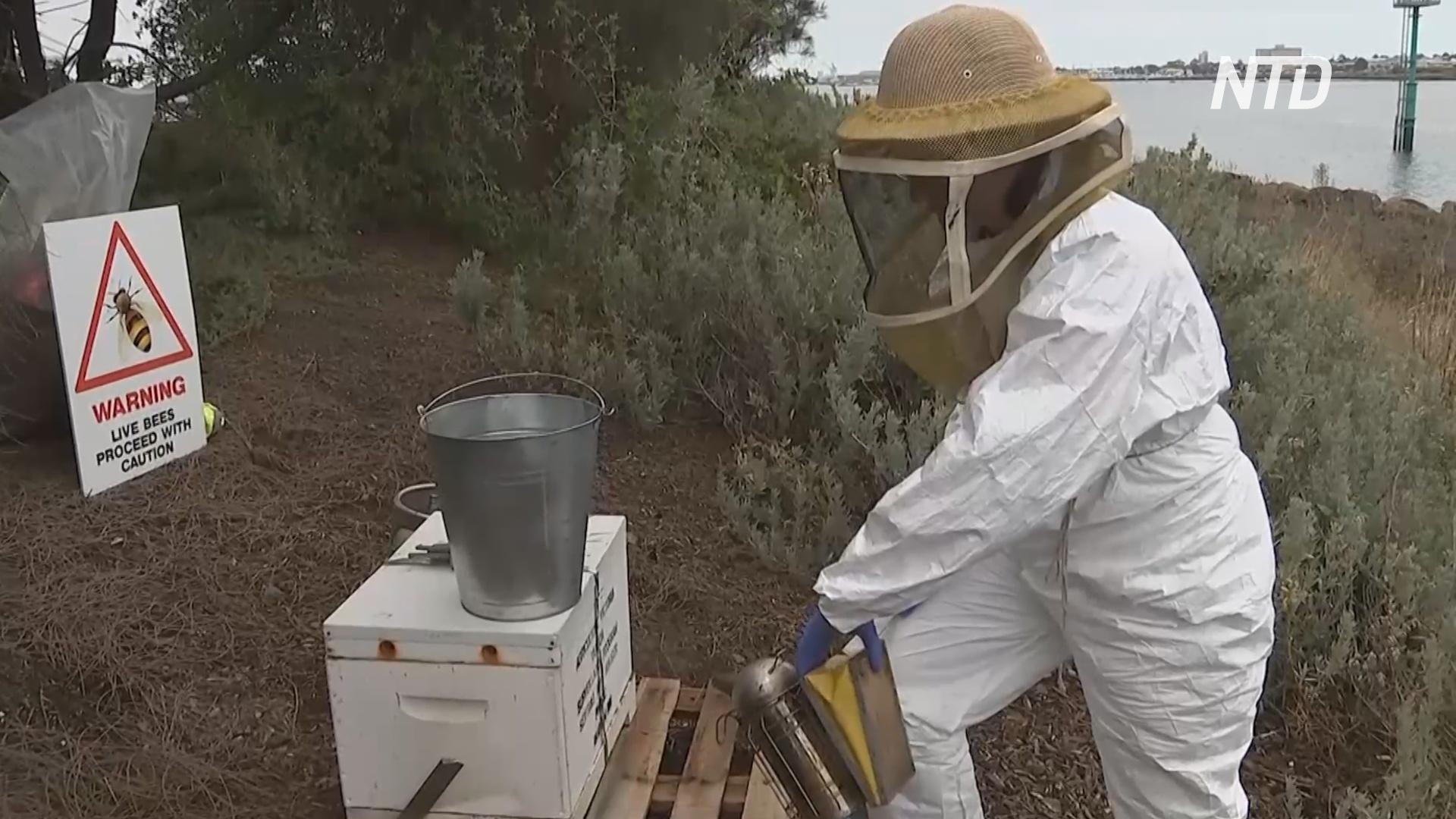 «Умные» ульи в Австралии отслеживают пчёл, заражённых опасным паразитом