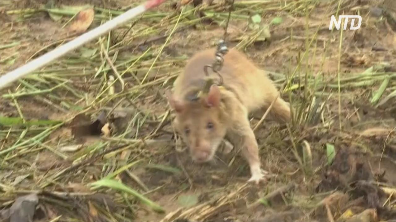 Армия крыс-сапёров в Камбодже пополнилась 20-ю новобранцами