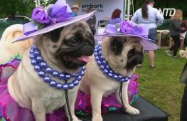 В Вестминстерском дог-шоу участвуют 2500 собак из 50 штатов США