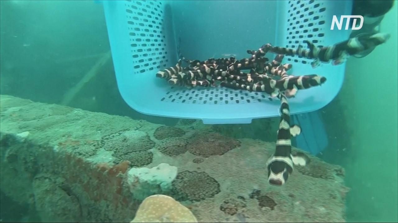 Как детёнышей бамбуковых акул выпускали у берегов Таиланда