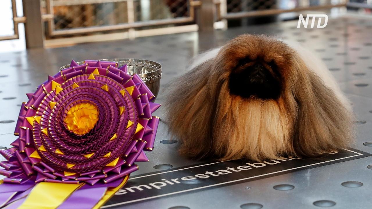 Пекинес Васаби стал лучшей собакой Америки в 2021 году