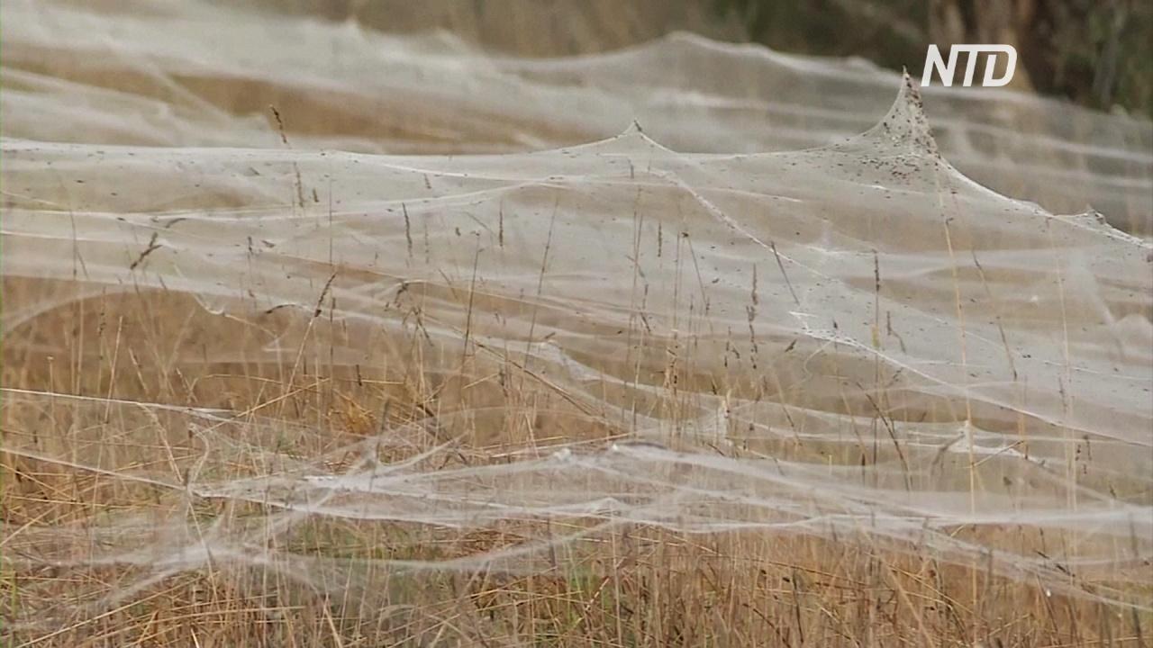 Австралийский штат Виктория опутала гигантская паутина