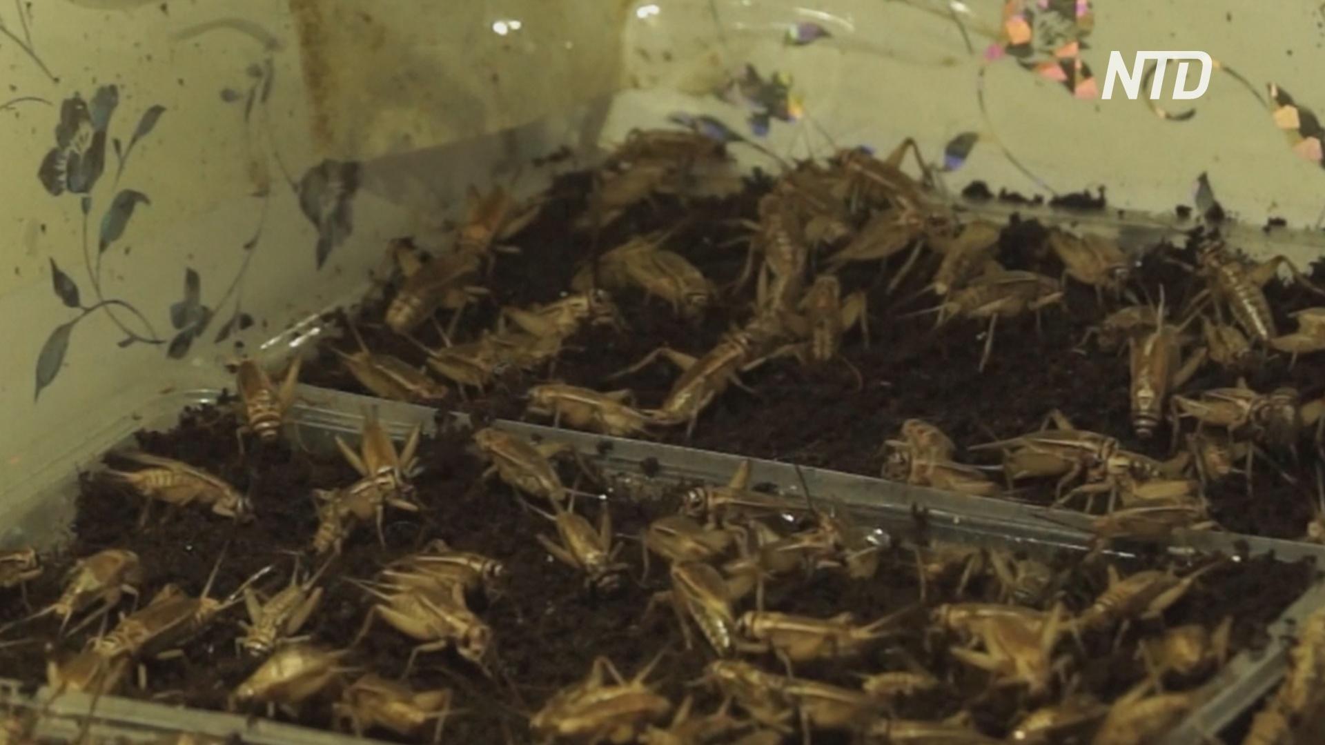 Сверчки во фритюре: кыргызский бизнесмен разводит насекомых на продажу