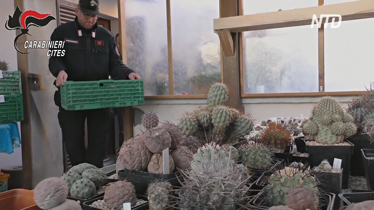 Италия вернёт Чили сотни кактусов, вывезенных контрабандой