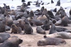 Сотни морских львов оккупировали побережье Чили, спасаясь от косаток